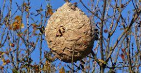 Frelons asiatiques : les premiers nids sont déjà bien présents